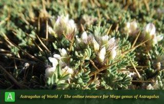 Astragalus divaricatus 3 - Photo by Bidar