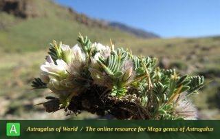 Astragalus divaricatus - Photo by Bidar
