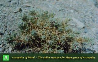 Astragalus dschuparensis
