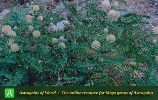 Astragalus echinops 2 - Photo by Maassoumi
