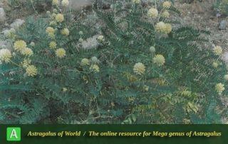 Astragalus echinops 3 - Photo by Maassoumi