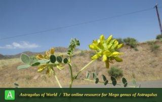 Astragalus echinops 4 - Photo by Bidar