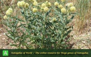 Astragalus echinops 5 - Photo by Mozaffarian