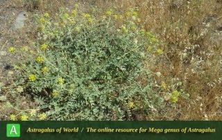 Astragalus echinops - Photo by Bidar