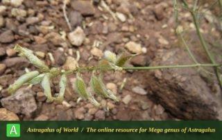 Astragalus eriopodus - Photo by Bidar