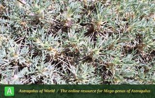 Astragalus eriosphaerus 2 - Photo by Eftekhar