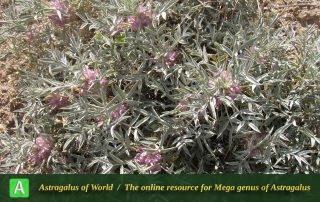 Astragalus eriosphaerus 3 - Photo by Eftekhar