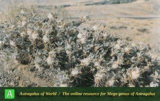 Astragalus eriosphaerus 4 - Photo by Maassoumi