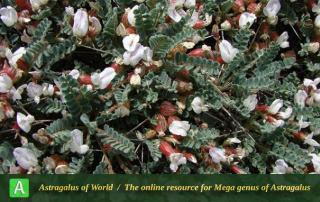 Astragalus eriostomus - Photo by Batooli