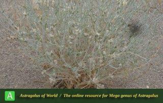 Astragalus erwinii-gaubae - Photo by Taheria