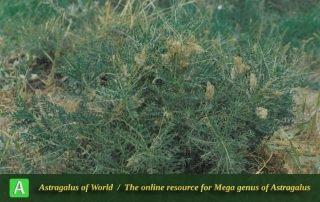 Astragalus erythrolepis - Photo by Maassoumi