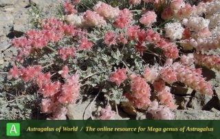 Astragalus fragiferus 2 - Photo by Mozaffarian