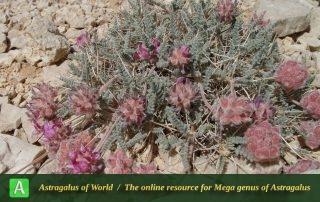 Astragalus fragiferus - Photo by Mozaffarian