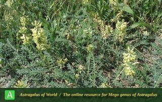 Astragalus fragrans 3 - Photo by Bidar