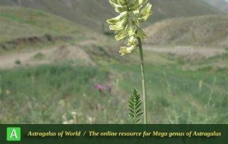 Astragalus fragrans - Photo by Bidar