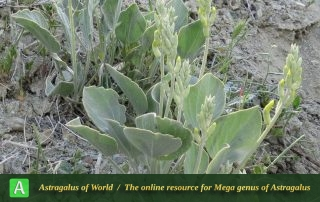 Astragalus fridae 2 - Photo by Maassoumi