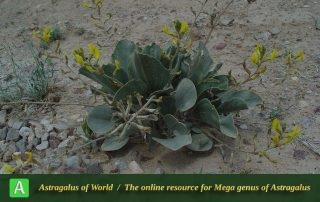 Astragalus fridae 3 - Photo by Maassoumi