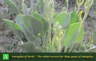 Astragalus fridae 4 - Photo by Maassoumi