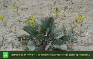 Astragalus fridae 5 - Photo by Maassoumi
