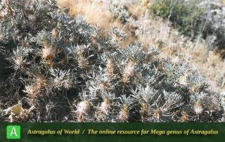 Astragalus gamasiabensis - Photo by Maassoumi