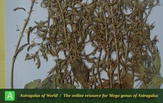 Astragalus gigantifoliolatus - Hol
