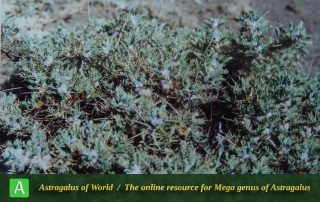 Astragalus glaucops