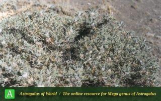 Astragalus glaucops 2 - Photo by Maassoumi