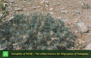 Astragalus globiflorus - Photo by Maassoumi