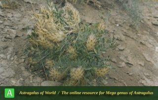 Astragalus glumaceus 2 - Photo by Maassoumi