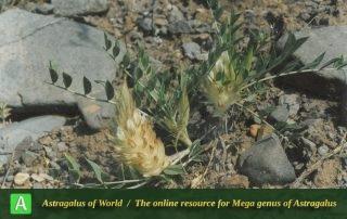 Astragalus glumaceus 3 - Photo by F.Ghahremani nejad