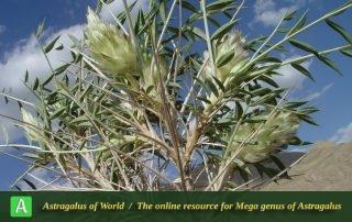 Astragalus glumaceus 5 - Photo by Mozaffarian