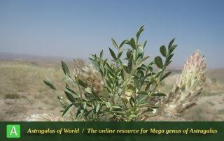 Astragalus glumaceus - Photo by Bagheri