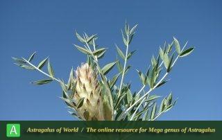Astragalus glumaceus - Photo by Batooli