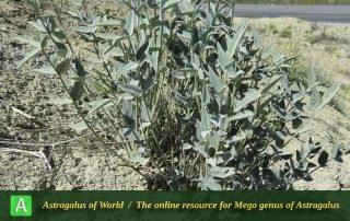 Astragalus gompholobium 2 - Photo by Maassoumi