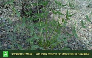 Astragalus gompholobium 3 - Khorassan 135