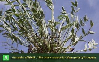 Astragalus gompholobium 4 - Photo by Mozaffarian