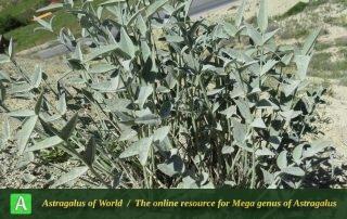 Astragalus gompholobium 5 - Photo by Maassoumi