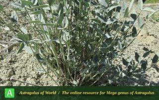 Astragalus gompholobium - Photo by Maassoumi