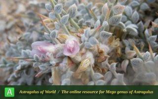 Astragalus gossypinus - Photo by Dinarvand