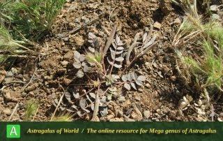 Astragalus gudrunensis - Photo by Tavakoli