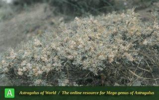 Astragalus gummifer - Photo by Maassoumi