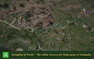 Astragalus guttatus 2 - Photo by Bidar