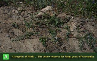 Astragalus guttatus 4 - Photo by Bidar