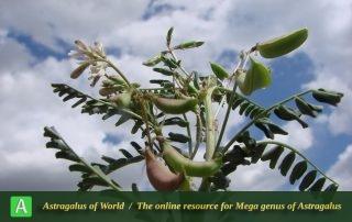 Astragalus guttatus 5 - Photo by Mozaffarian