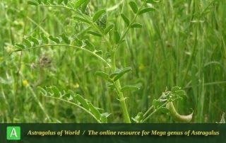 Astragalus guttatus - Photo by Bidar