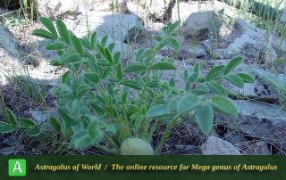 Astragalus gypsaceus 2