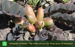 Astragalus gypsaceus 3 - Photo by Bidar