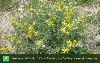 Astragalus hamadanus - Photo by Tavakoli