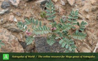 Astragalus hamosus 2 - Photo by Taheria