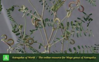 Astragalus hamosus - Photo by Mozaffarian